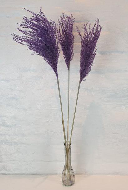 Miscanthus 90h. 3pc Purple