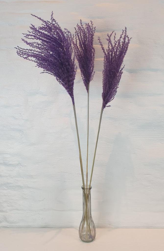 Miscanthus 90h. 3pc Purple-1