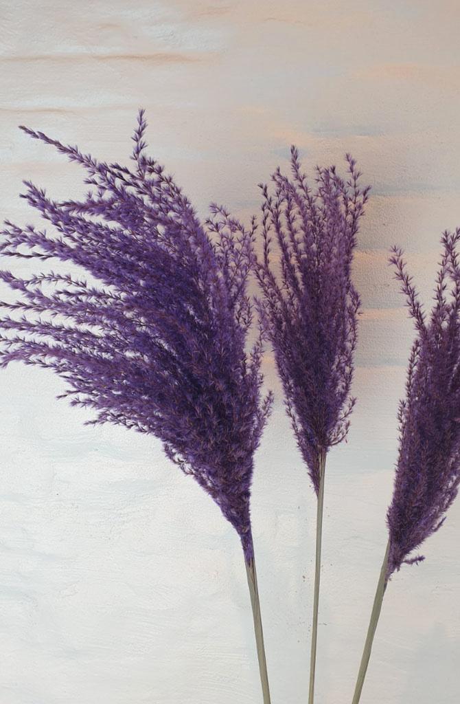 Miscanthus 90h. 3pc Purple-2