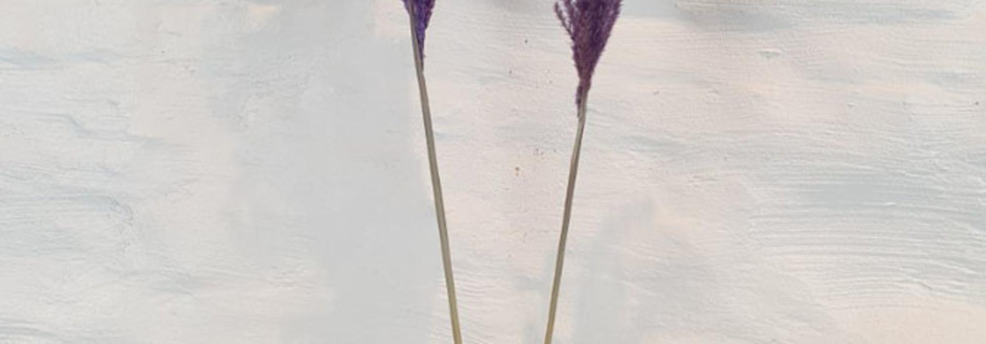 Miscanthus 90h. 2pc Purple