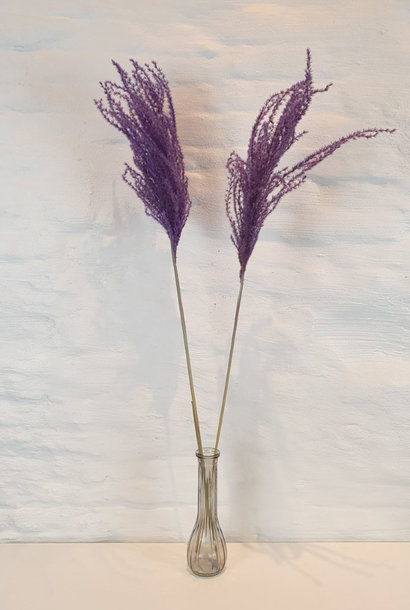 Miscanthus 90h. 2pc Purple