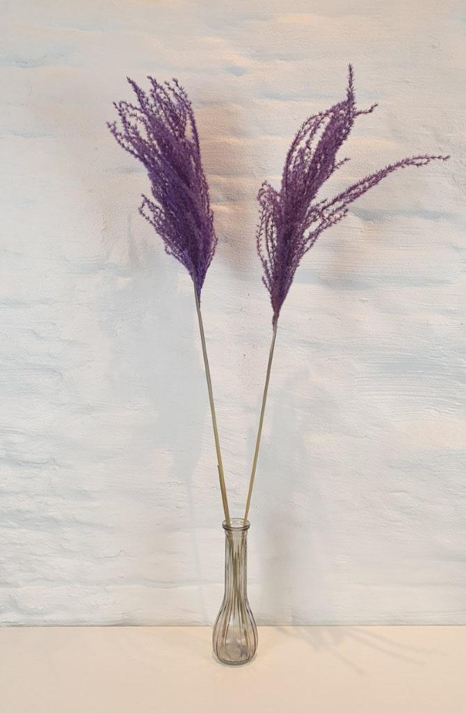 Miscanthus 90h. 2pc Purple-1