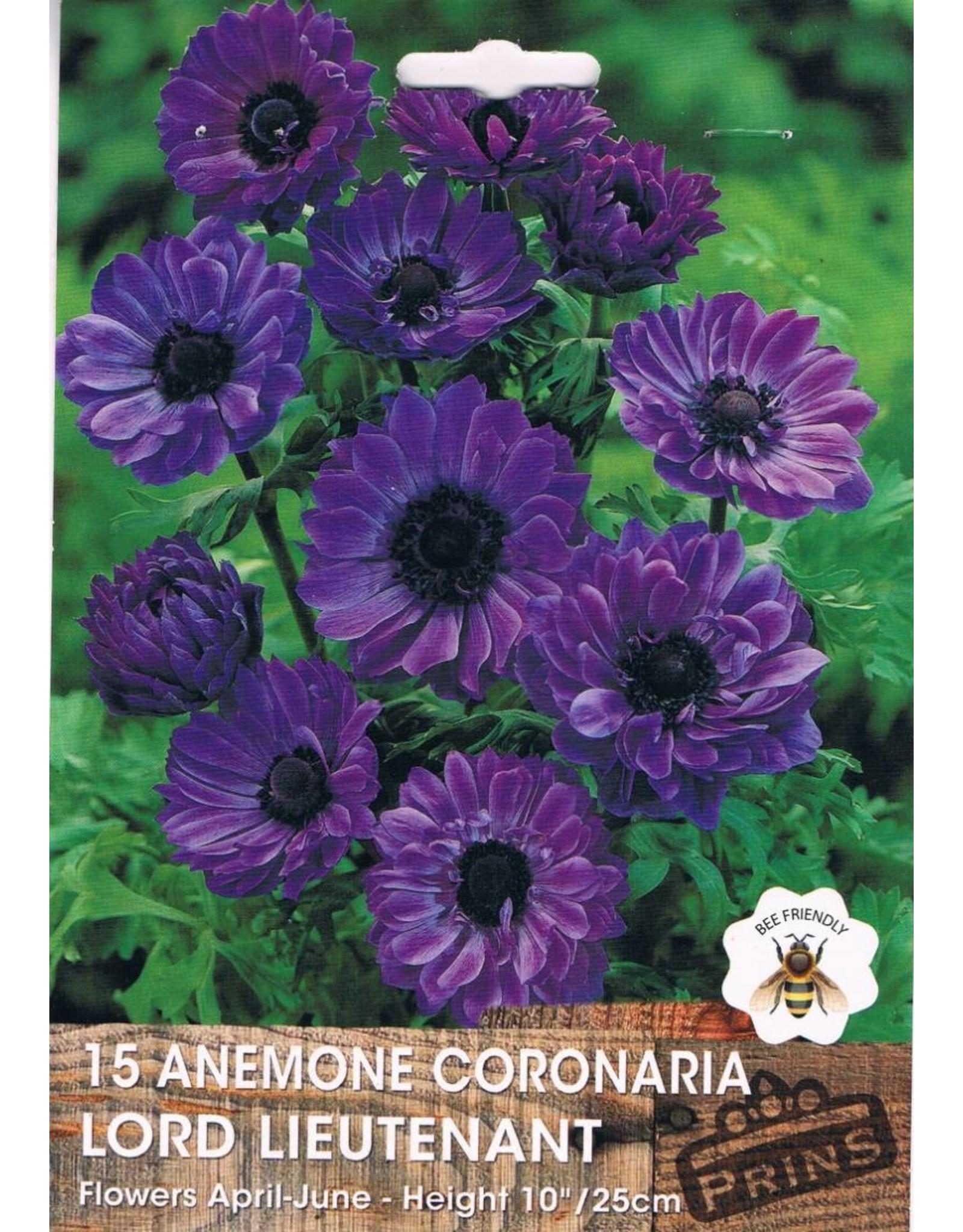 Hollands geteeld Anemone coronaria Lord Lieutenant