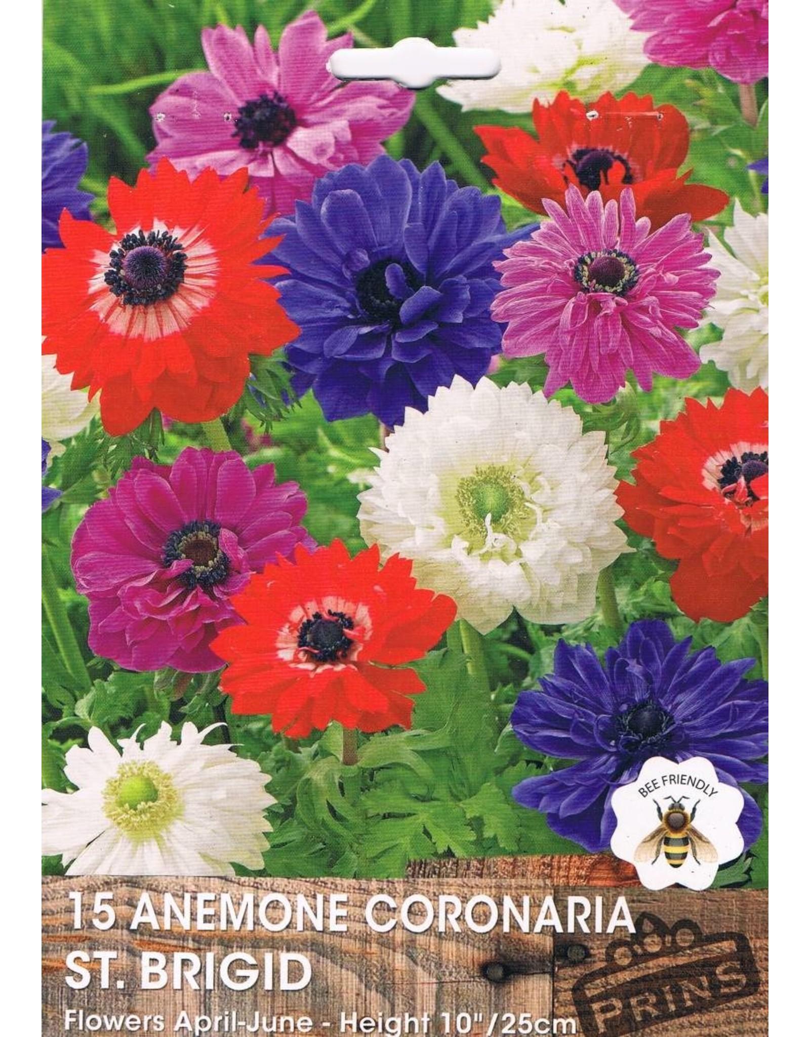 Hollands geteeld Anemone  coronaria st Bridgid