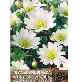Hollands geteeld Anemone blanda wit