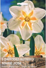 Hollands geteeld Narcis Marie Jose