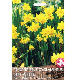 Hollands geteeld Narcis Tete á Tete