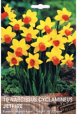 Hollands geteeld Narcis cyclamineus Jetfire