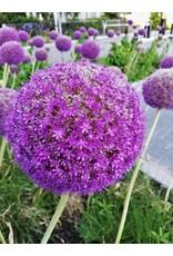 Hollands geteeld Allium Ambassadeur