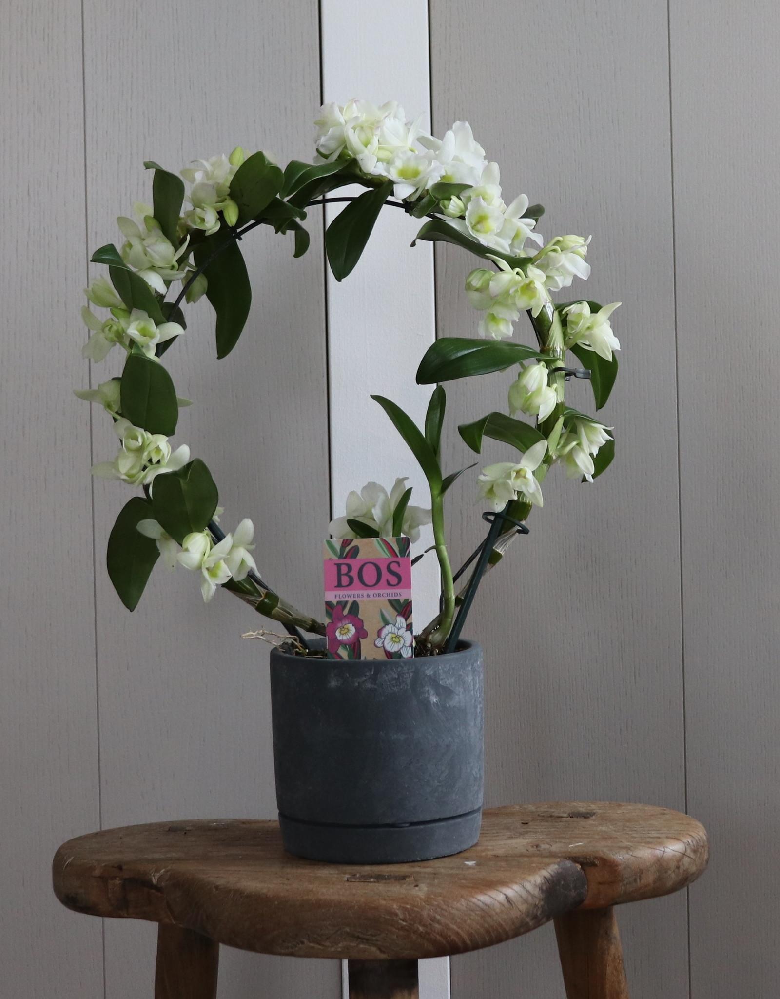 Dendrobium Nobilé Boog  | Apollon