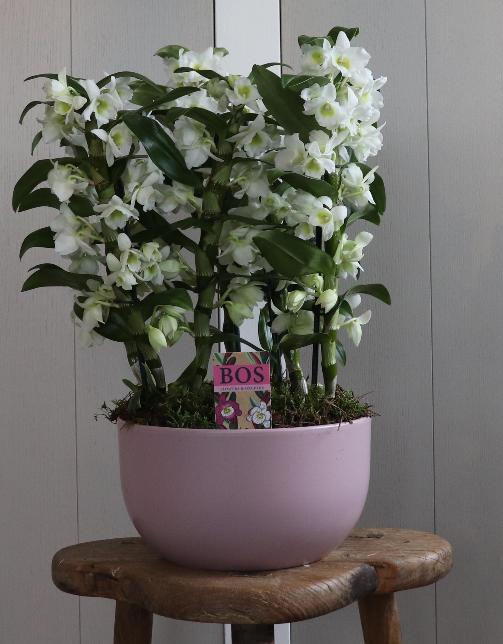 Arrangement Dendrobium Nobilé | Apollon