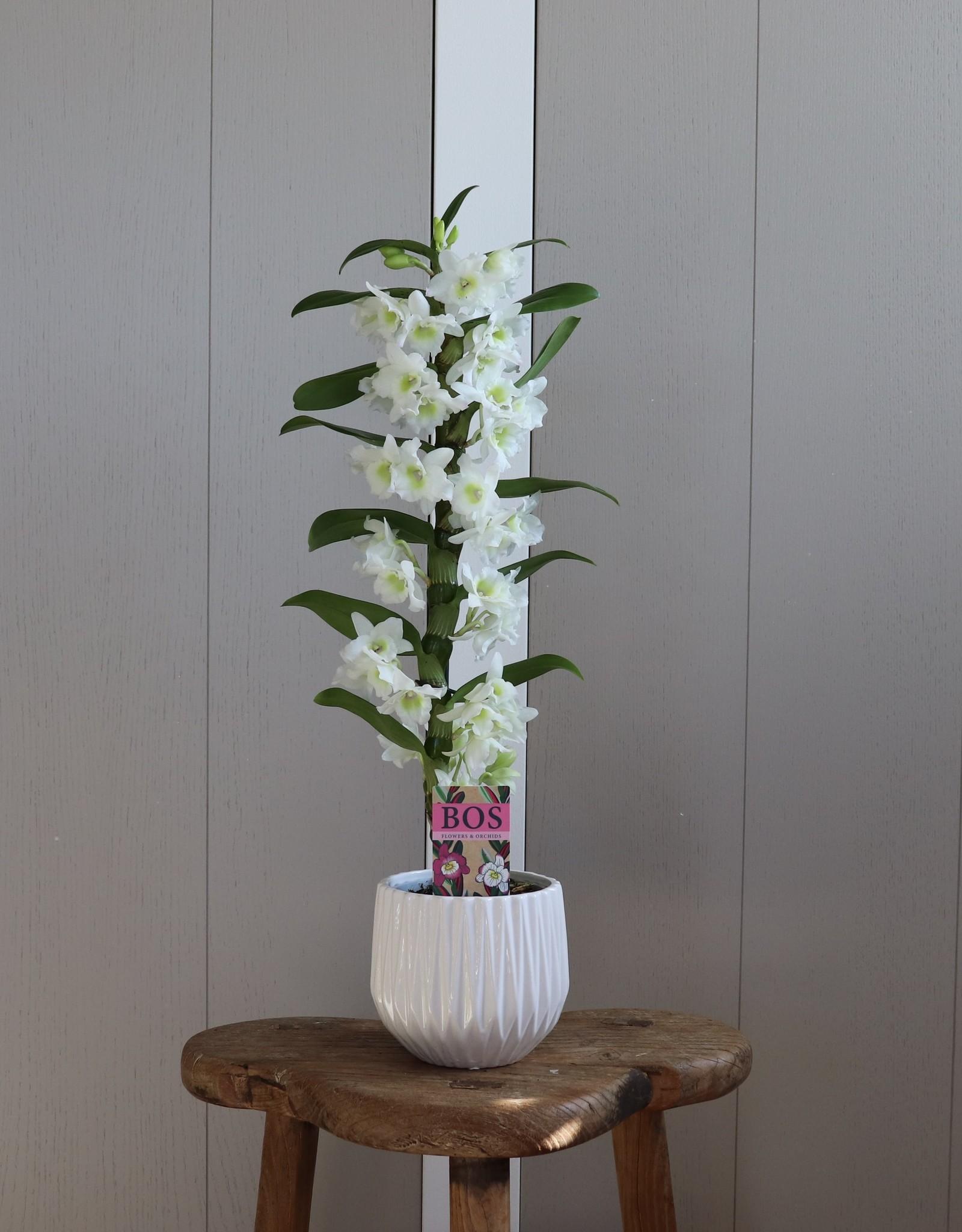 Dendrobium Nobilé | Apollon 1-tak