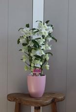 Dendrobium Nobilé | Apollon 2-tak
