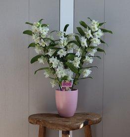 Dendrobium Nobilé 3-tak   wit