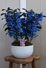 Arrangement Dendrobium Nobilé | blauw (inject)