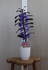 Dendrobium Nobilé | paars (inject) 1-tak