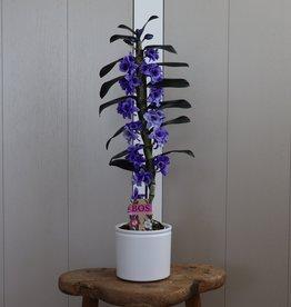 Dendrobium Nobilé 1-tak | paars (inject)