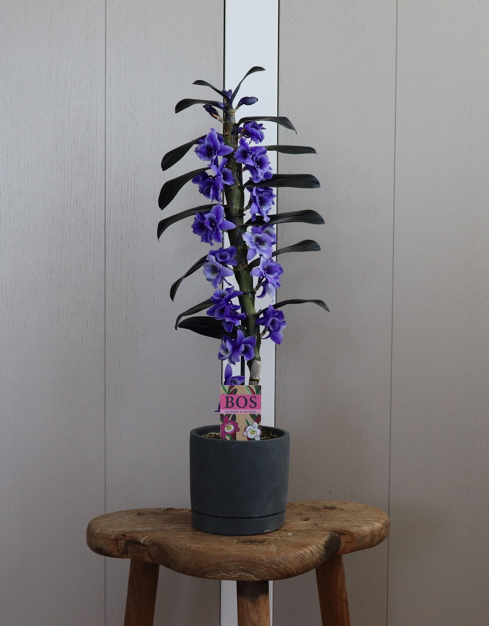 Dendrobium Nobilé Apollon | paars (inject) 1-tak