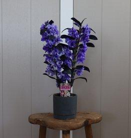 Dendrobium Nobilé 2-tak | paars (inject)