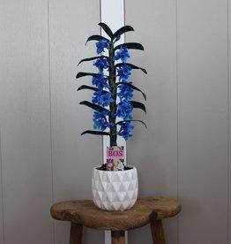 Dendrobium Nobilé 1-tak | blauw (inject)