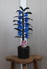Dendrobium Nobilé | blauw (inject) 1-tak
