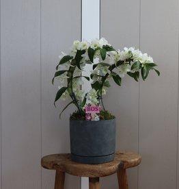 Arrangement Dendrobium Nobilé Dubbele Boomerang | wit
