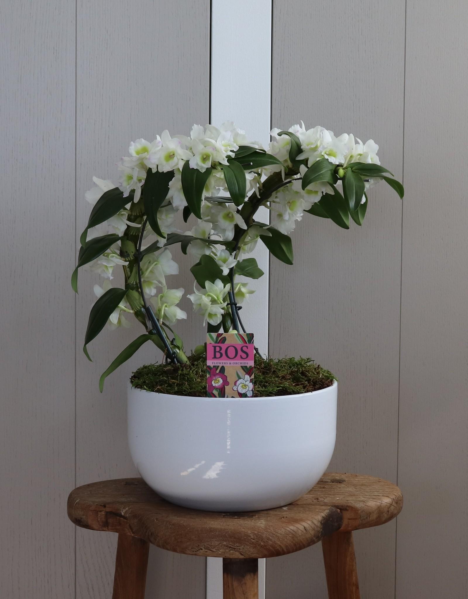Arrangement Dendrobium Nobilé Dubbele Boomerang | Apollon