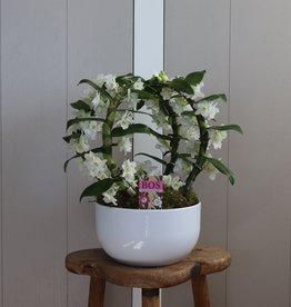 Arrangement Dendrobium Nobilé Dubbele boog | wit