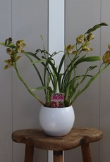 Cymbidium | Tiger Tail 4-tak