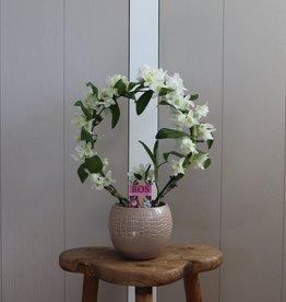 Dendrobium Nobilé Boog | wit