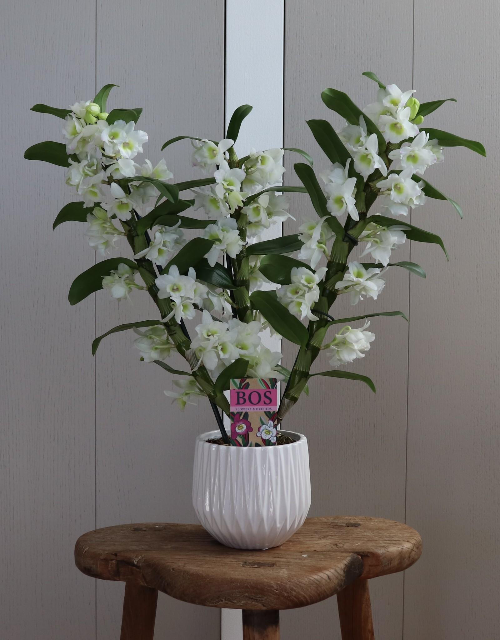 Dendrobium Nobilé | Apollon 3-tak