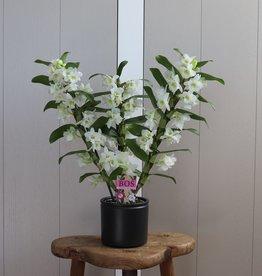 Dendrobium Nobilé 3-tak | wit