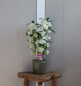 Dendrobium Nobilé 2-tak | wit