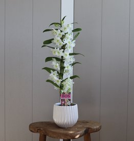 Dendrobium Nobilé 1-tak | wit