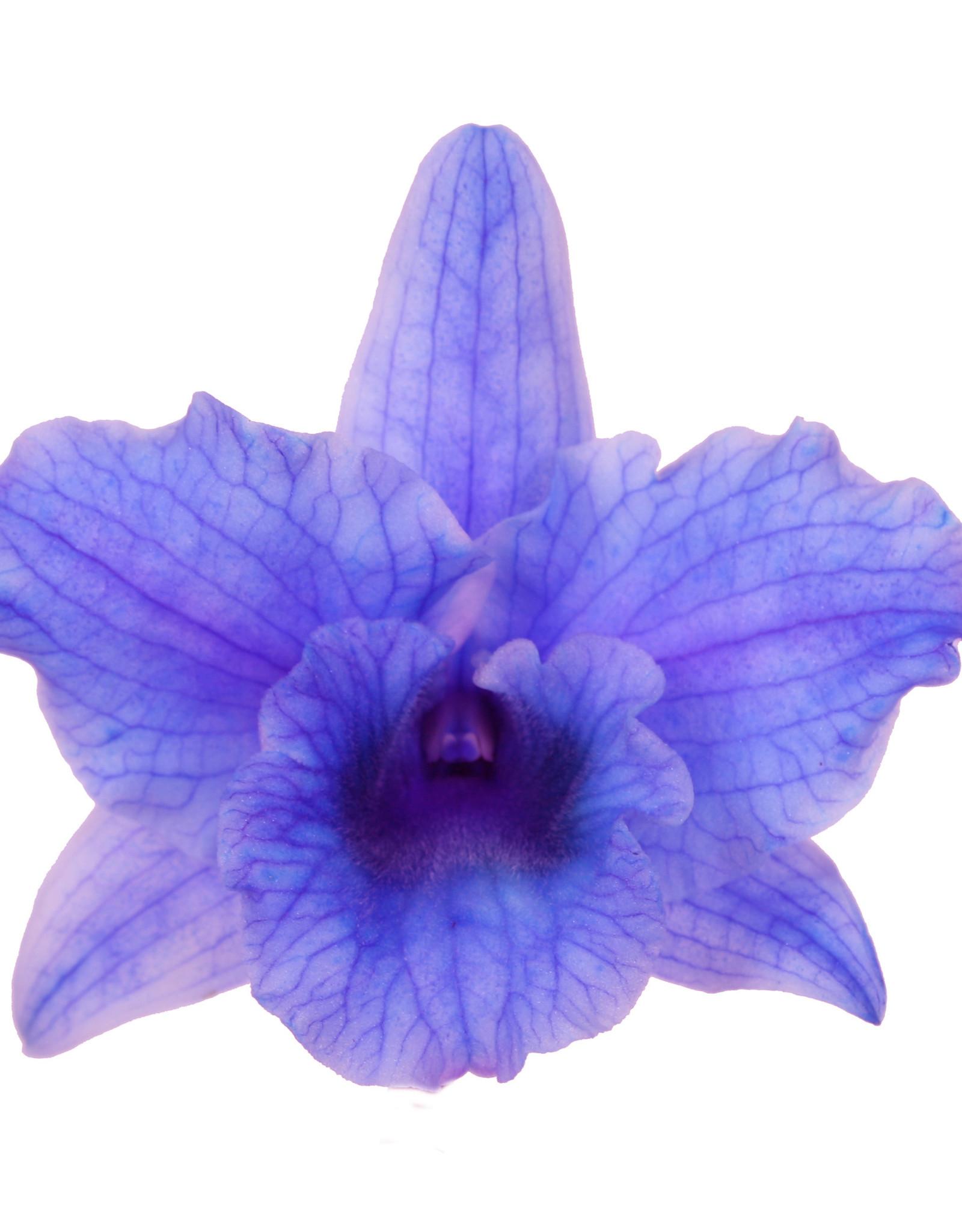 Dendrobium Nobilé | paars (inject) 2-tak