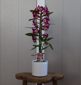 Dendrobium Nobilé 1-tak   paars