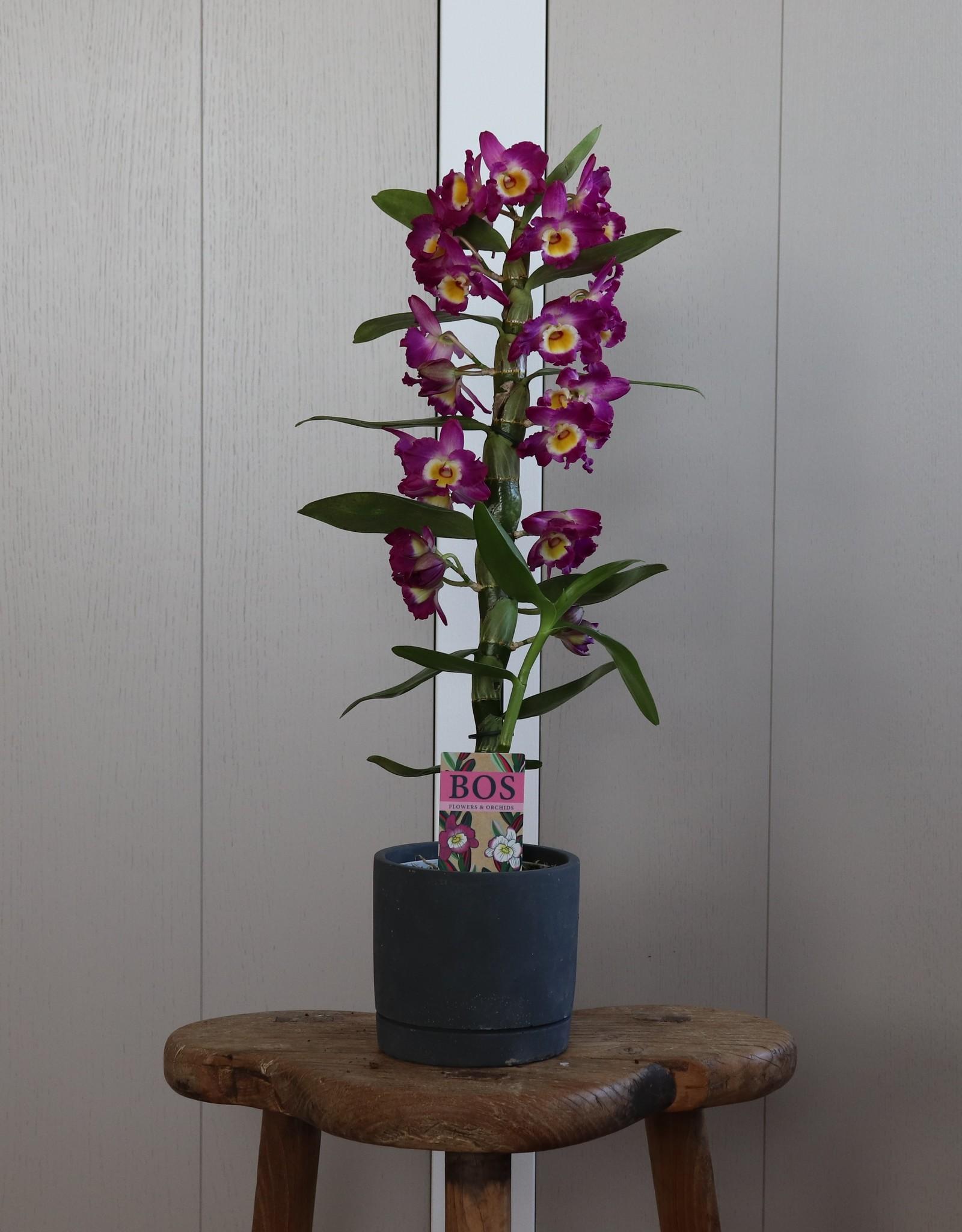 Dendrobium Nobilé | Akatsuki 1-tak