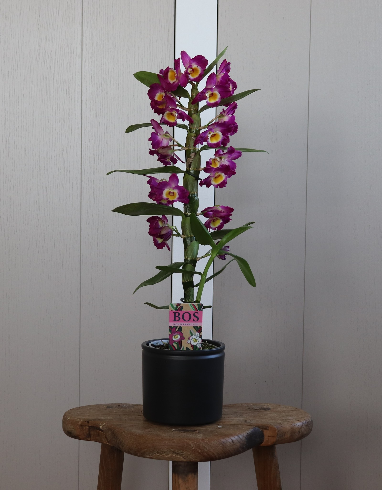 Dendrobium Nobilé   Akatsuki 1-tak