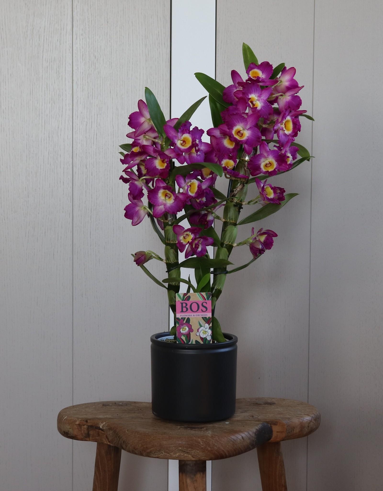 Dendrobium Nobilé | Akatsuki 2-tak