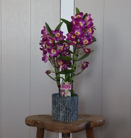 Dendrobium Nobilé 2-tak | paars