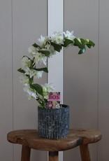 Dendrobium Nobilé Boomerang | Apollon
