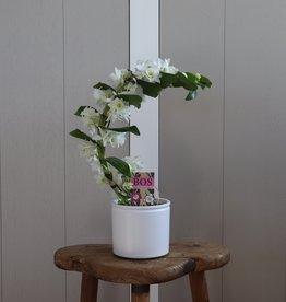 Dendrobium Nobilé Boomerang   wit