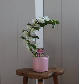 Dendrobium Nobilé Boomerang | wit