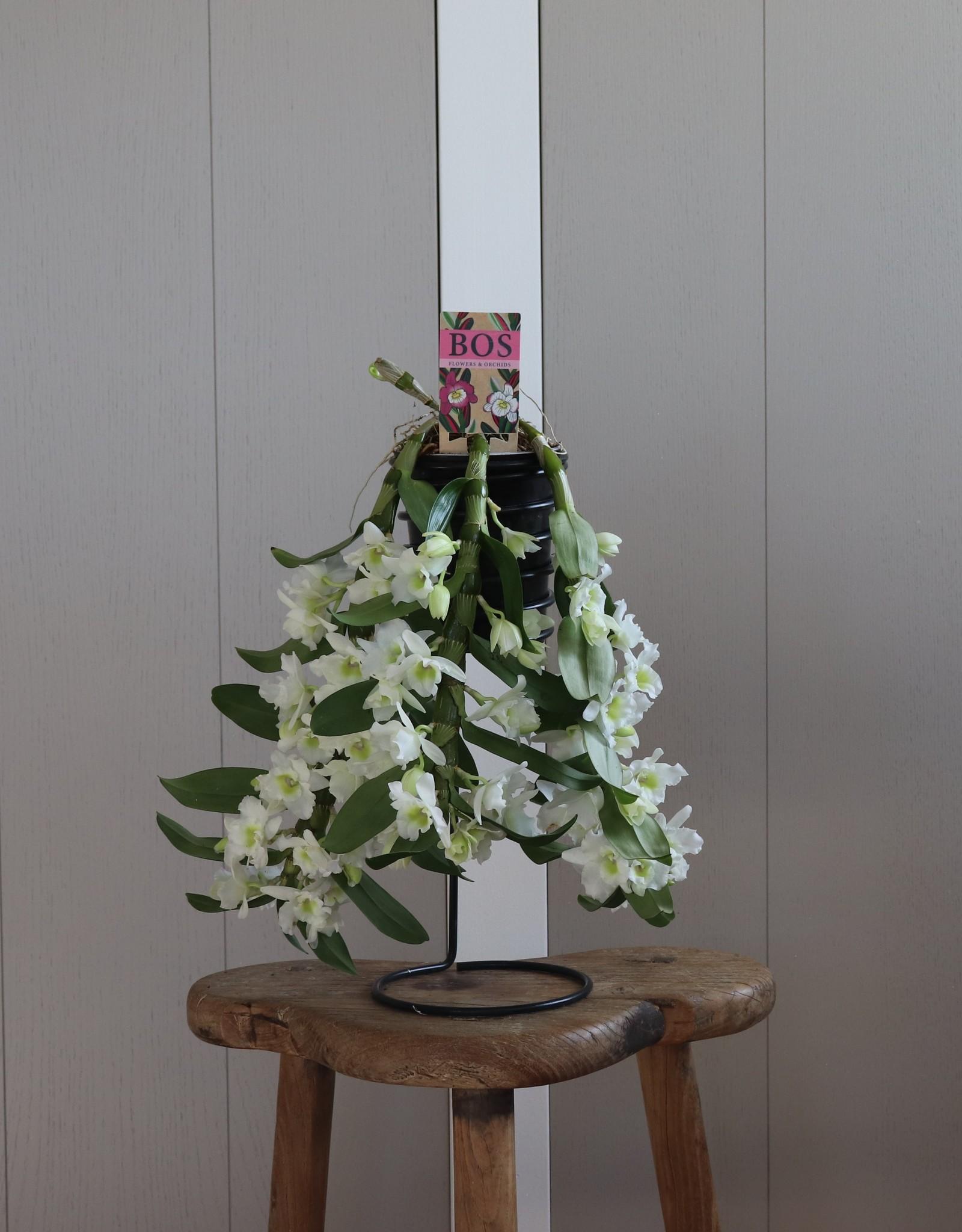 Dendrobium Nobilé Flower Shower | Apollon