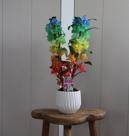 Dendrobium Nobilé 2-tak | regenboog