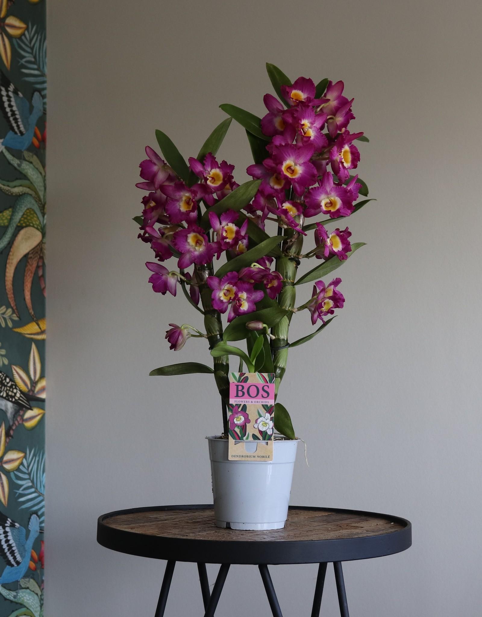Dendrobium Nobilé   Akatsuki 2-tak