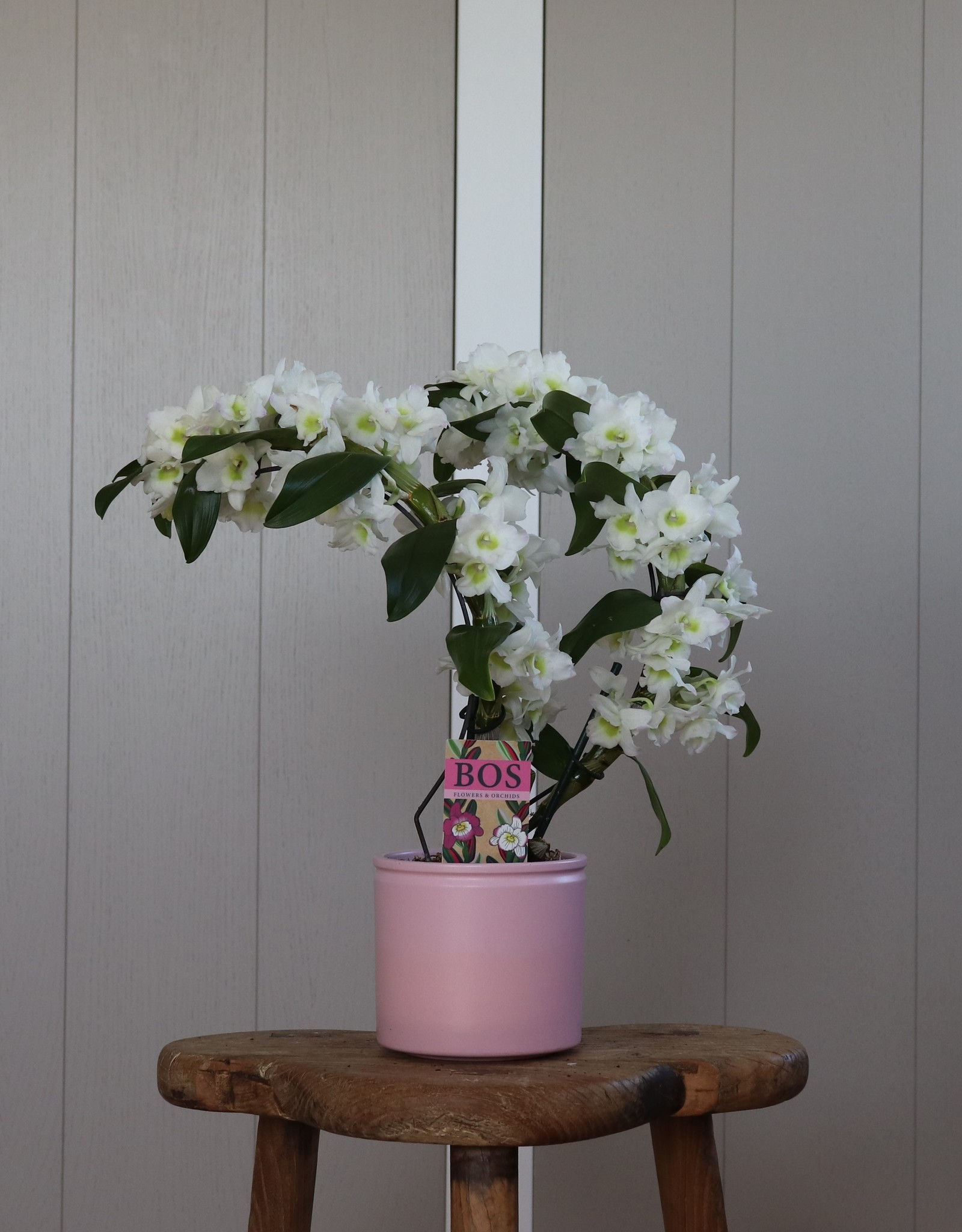 Dendrobium Nobilé Dubbele Boomerang | Apollon