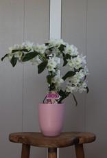 Dendrobium Nobilé Dubbele Boomerang   Apollon