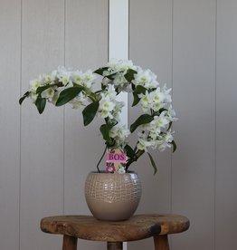 Dendrobium Nobilé Dubbele Boomerang | wit