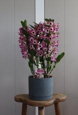 Arrangement Dendrobium Nobilé | Sunny Eyes